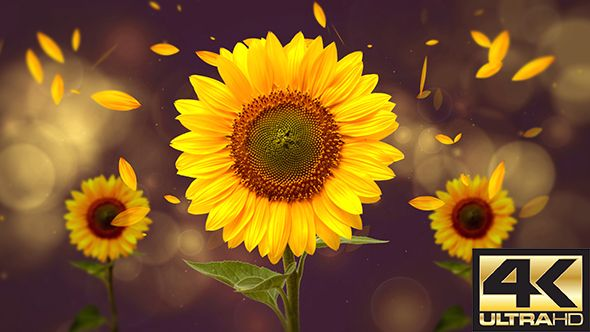 Sun Flower Background 4K  Sun Flower Background 4K  4K 3840×2160 | Seamless Looped Video | 0:10 second  Music is not included, but you can find it here: dshemer – Nature  #4k #awakening #beauty #bokeh #flower #leaf #loop #motionbackground #mountain #nature #particular #plant #retro #sparkling #sunflower