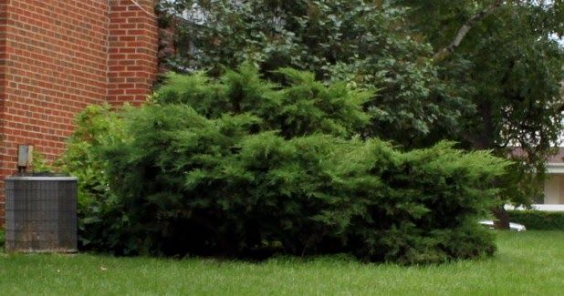 Trimming An Overgrown Juniper Evergreen Shrubs Privacy Landscaping Evergreen Bush