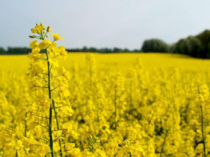 canola flower