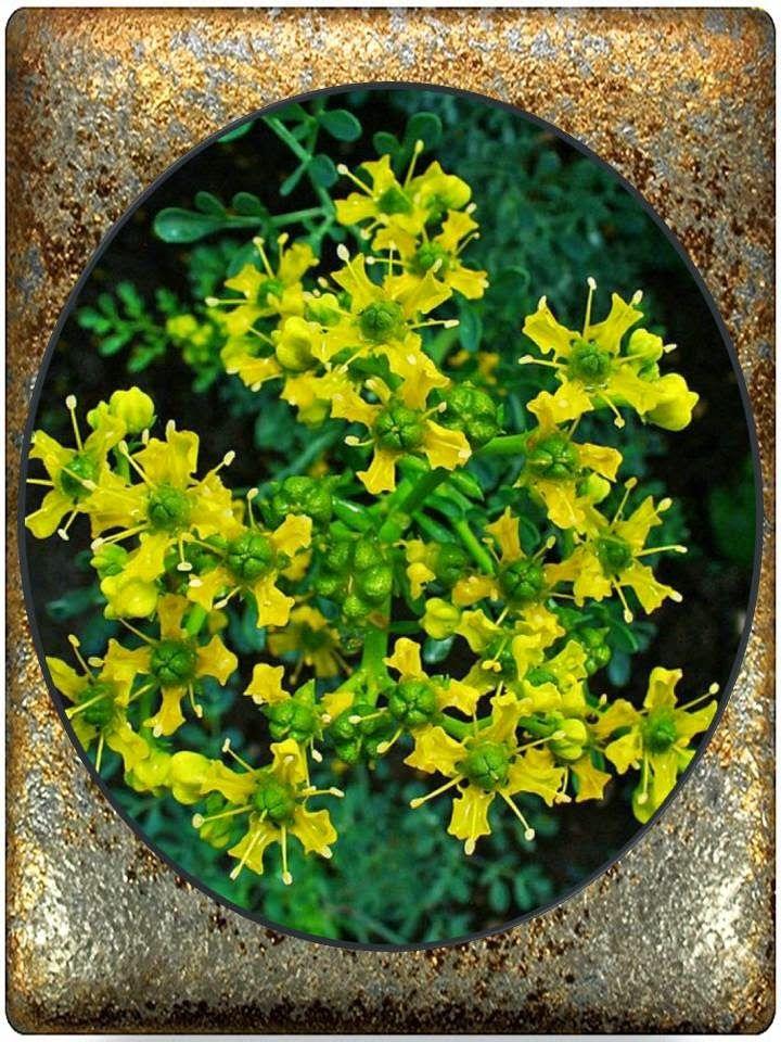 Ruda verde y perfumada planta poderosa y mágica que posees el poder de transformar lo negativo en positivo, y que donde quiera que te ...