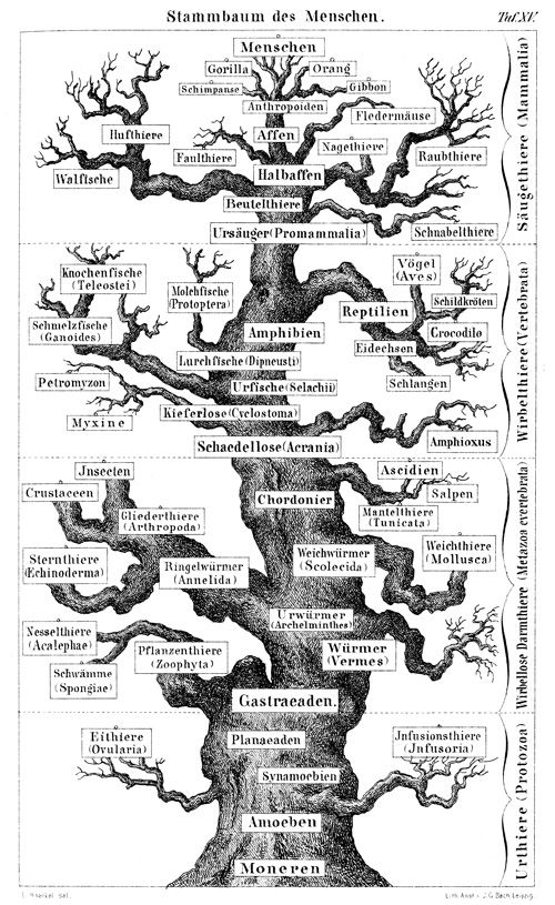 Ernst Haeckel's 'great oak,' a family tree of animals, from the first edition of his 1874 Anthropogenie oder Entwickelungsgeschichte des menschen (The evolution of man).