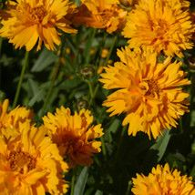 Coreopsis grandiflora Early Sunrise Tickseed - 6 per pack