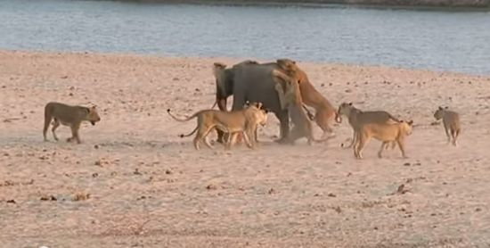 A group of lions attacks a young elephant. After receiving a few bites and scratches, it seemed like the elephant's hour had come. Fortunately for him, the elephant shows us that the best winning strategy implies a little bit of thinking.