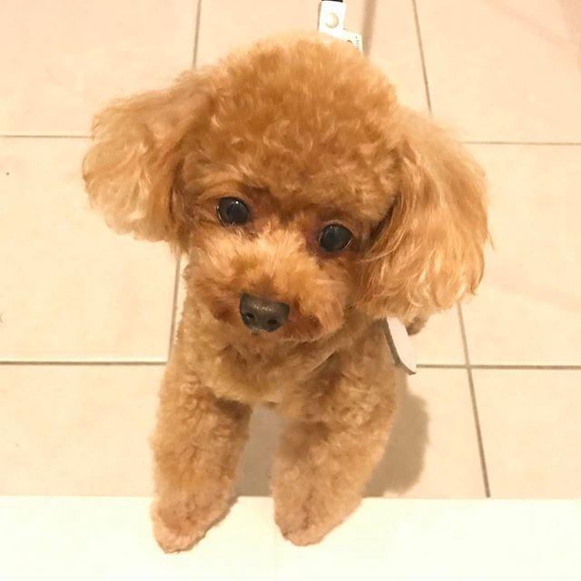 ただいま〜#🐾 #トリミング してもらったよ#✂︎ #toypoodle#aftergrooming #doggrooming#tinypoodle#ilovemydog#socute#adorable#kawaii#doglover#instadog#トイプードル#ティーカッププードル#愛犬#癒し#可愛すぎる#トイプールーイ#トリミング後#louie_thetoypoodle#ハートのお鼻