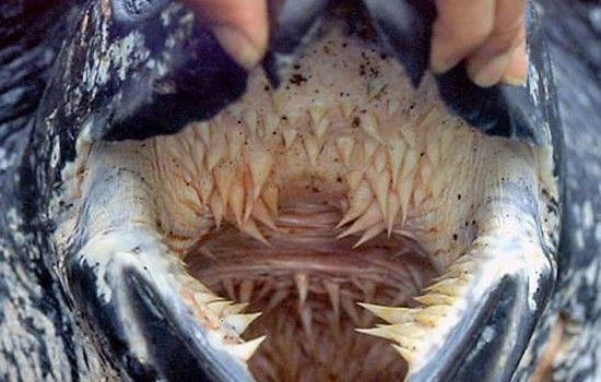 Leatherback sea turtle mouth/esophagus