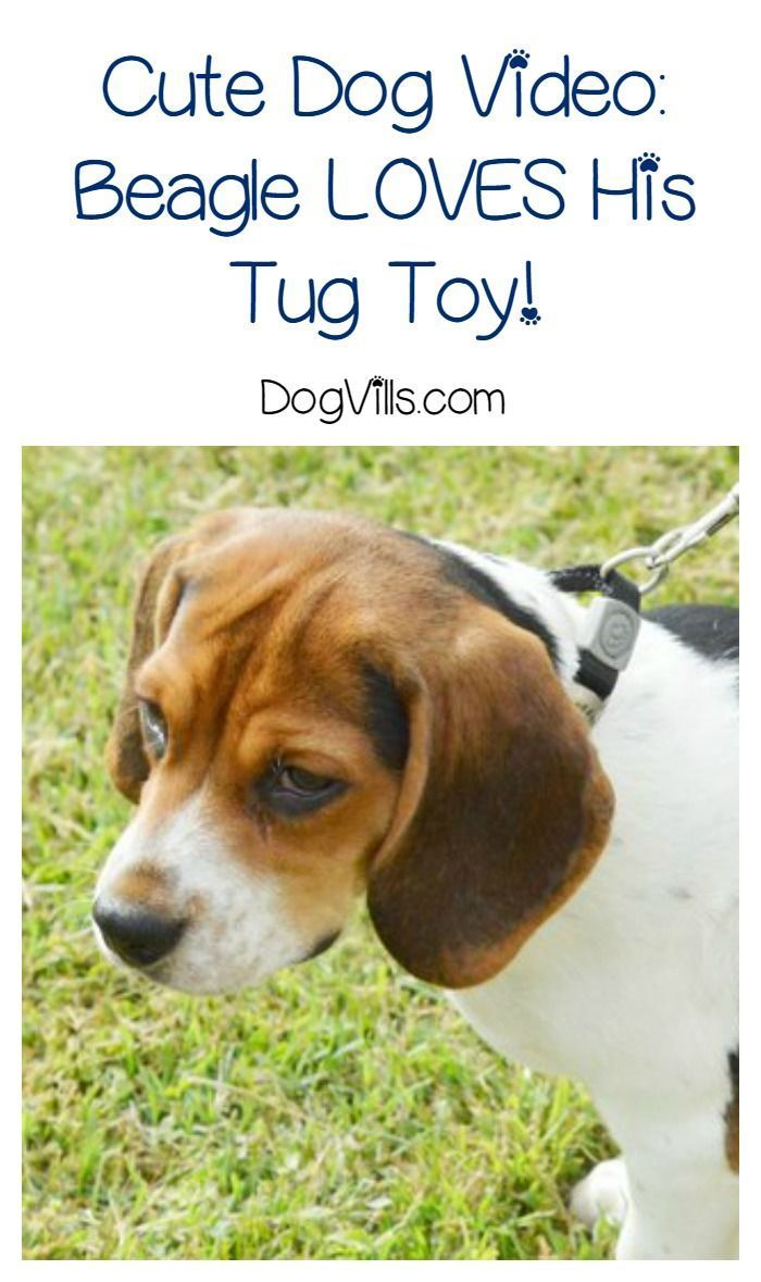 Funny Dog Video Beagle Says Don T Touch My Tug Toy Dog Gifs Funny Dog Videos Really Cute Puppies