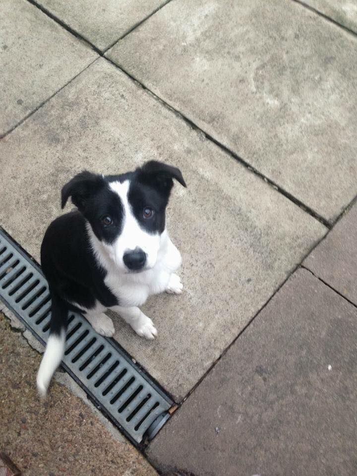 The evening of the 27th in Consett County Durham, a small black & white Border Collie has gone missing, she's 13 months old, called Molly, and wears a pink collar. If anyone has seen her please contact the owner, please ring 07816490745 with information.