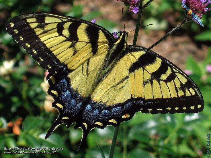 Orchard Swallowtail: Brown Butterflies, Beautiful Butterflies, Beautiful Species, Bing Image, Beautiful Brown, Butterflies Species, Butterflies Ladybugs, Largest Butterflies, Citrus Butterflies