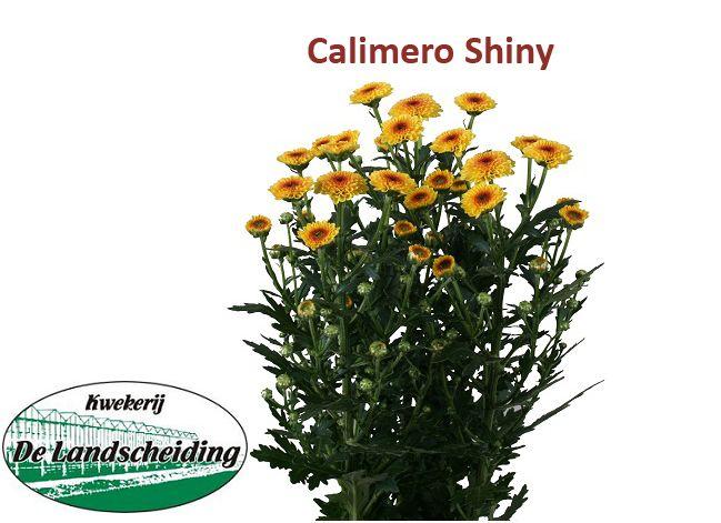 Calimero shiny