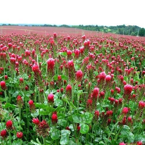 Crimson Clover - Trifolium incarnatum, $3.99