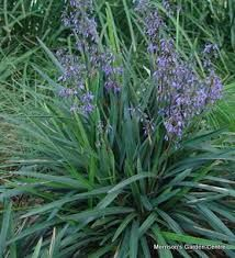 Dianella-feature planting use if front garden landscaping