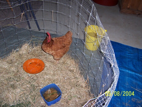 """""""Pogo"""" Chicken in ICU with injured leg!  Made a full recovery!  xx"""