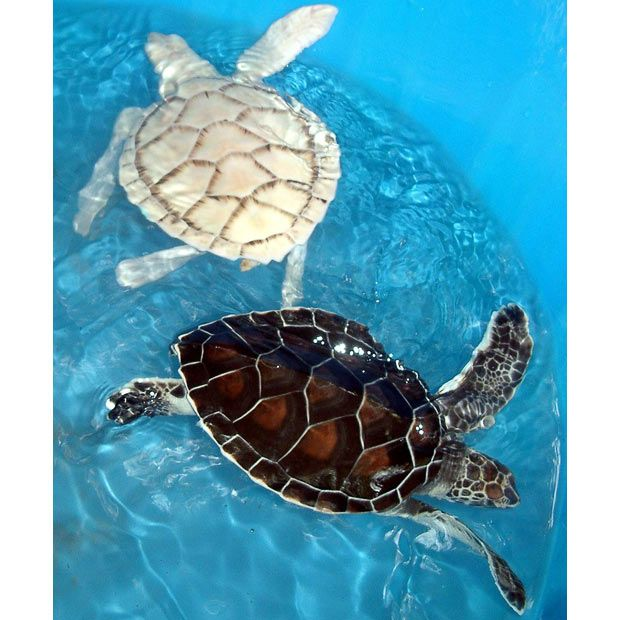 Another albino turtle; this specimen was discovered in the port of Veracruz, Mexico and sent to the national oceanarium