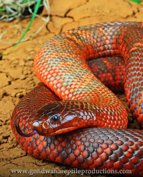 206 best snakes images on Pinterest | Reptiles, Amphibians and Lizards