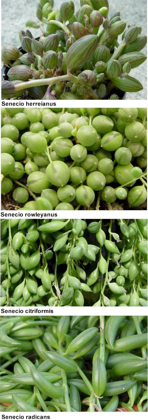 Difference between senecios
