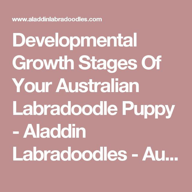 Developmental Growth Stages Of Your Australian Labradoodle Puppy - Aladdin Labradoodles - Australian Labradoodle Breeder - Puppies