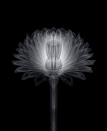 Macoto Murayama/村山誠 - Chrysanthemum-i-b