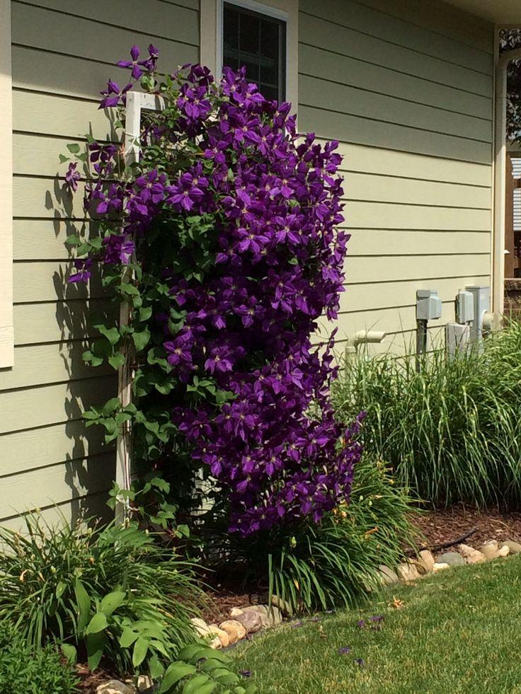 A Clematis On A Screen Door Trellis Gardening