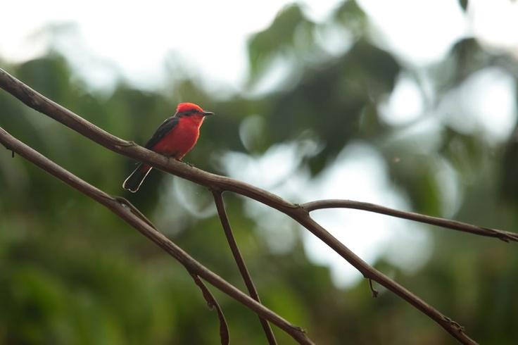 Atrapamoscas Pechirrojo posando sobre una rama en El Portal, Paraíso Natural.
