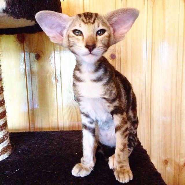 143 best images about oriental shorthair on Pinterest ... Oriental Cat Lifespan