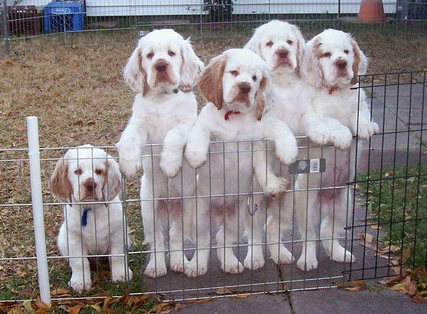 clumber puppies