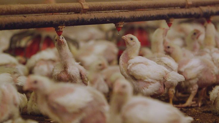 FRONTLINE investigates the widespread use of antibiotics in food animals and whether it is fueling the growing crisis of antibiotic resistance in people. Plus an exclusive interview with the family of a young man who died in a superbug outbreak that swept through a hospital at the National Institutes of Health.
