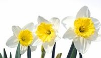 How to Store Daffodil Bulbs over the summer