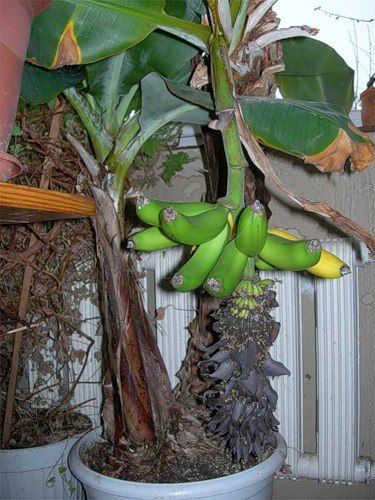 Выращиваем банан дома!