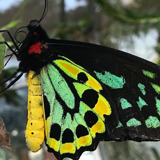 https://www.instagram.com/p/BeHoR9mh3ge/Nature's designers - Tropical butterflies at Tucson Botanical Garden