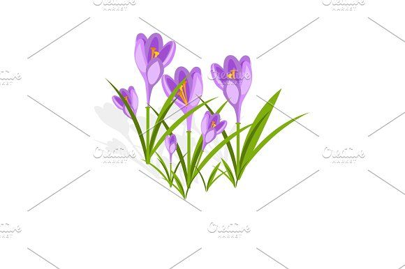 Purple crocuses in the snow vector. by LesiaHnatiuk on @creativemarket