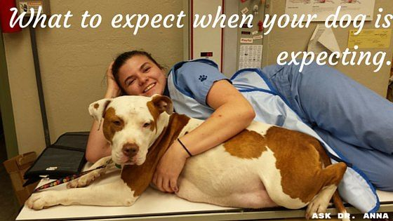 A dog remains pregnant for sixty to sixty-five days.  It's important to know how to care for your pregnant dog and what to expect during delivery.  Dr. Anna Coffin will tell you what to expect when your dog is pregnant.