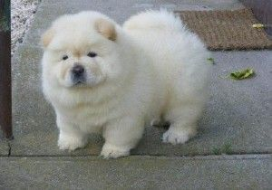 chow chow puppy for sale uk