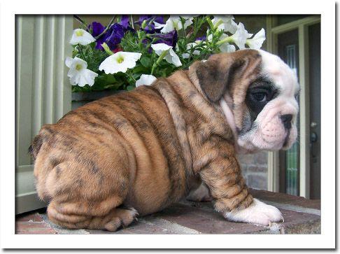 English Bulldog Puppies For Sale In California Male And Female English Bulldog Puppies Available Do Text Me Via 469 364 English Bulldog Puppies Bulldog Puppies For Sale Puppies For Sale