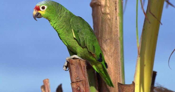 Tipos de loros amazónicos. La gente tiene loros amazónicos como animales domésticos debido a su naturaleza altamente social y su excepcional capacidad de hablar. Van desde 10 a 16 pulgadas (25,4 a 40,6 cm) de largo, dependiendo de la especie, y son en su mayoría de color verde brillante. Las diferentes especies tienen diferentes colores en la cabeza y las alas, con ...