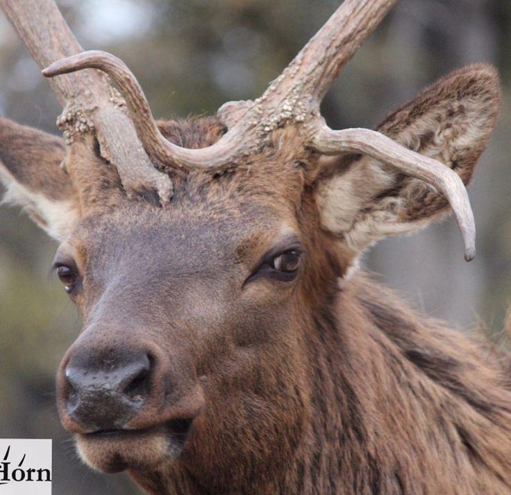 8 Best Elk Reference Images On Pinterest