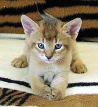 ♥CG♥ 48 Chausie Kitten