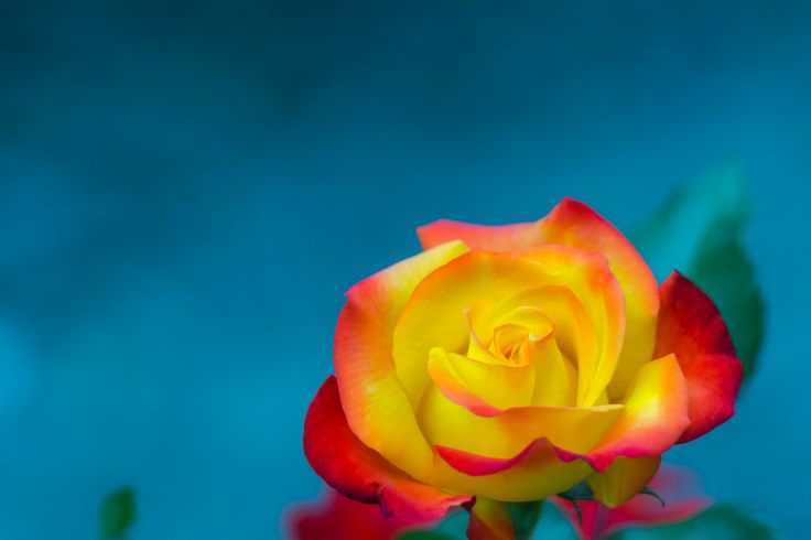 rose1 - rose