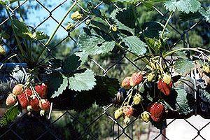 Pěstování jahod v PET lahvích - Rady ptáka Loskutáka - TV Nova