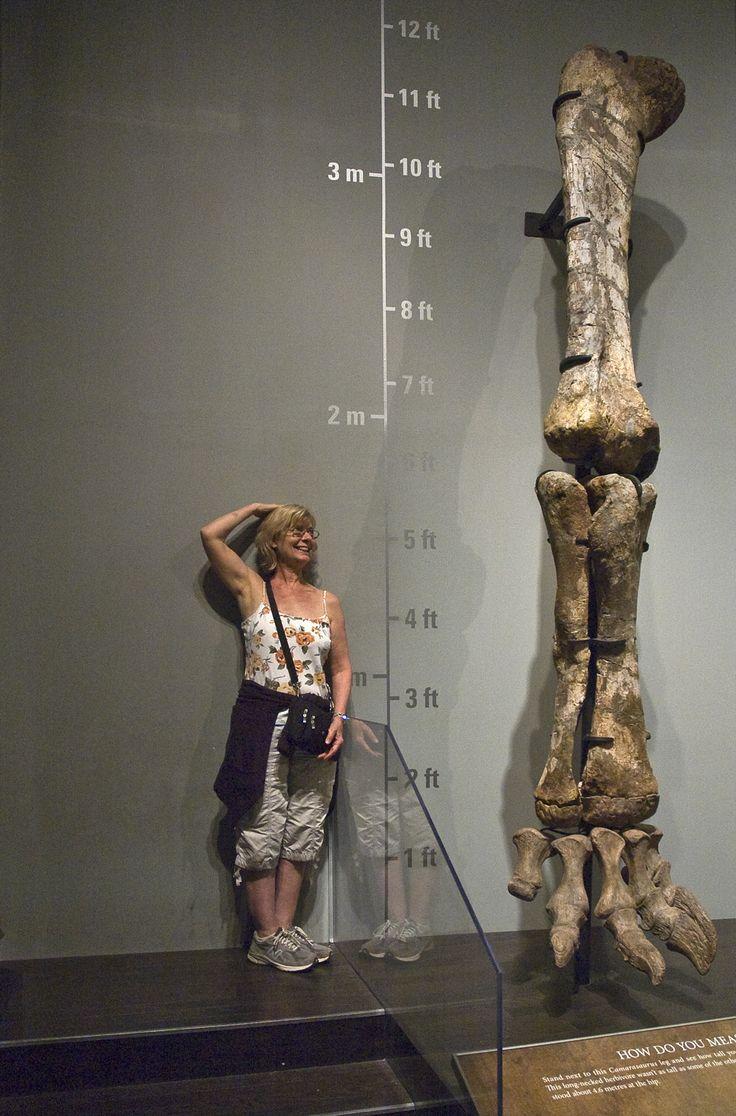 Camarasaurus limb, Royal Tyrrell Museum, Drumheller, Alberta. © Mark Ryan