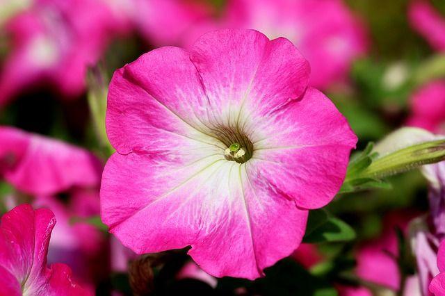 A petúnia bemutatása A petúnia (Petunia hybrida) Dél-Amerikából származó, hazánkban nagy népszerűségnek örvendő egynyári növény. Változatainak száma több százra tehető, hibridek és színváltozatok széles választéka áll rendelkezésünkre. Felhasználása sokrétű, kiültethetjük kertbe, cserépbe, felakasztható virágtartóba...