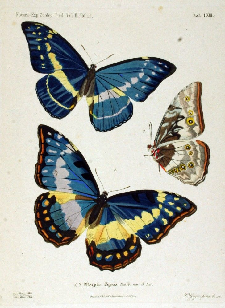 Vintage butterfly illustration; blue butterfly  --  LOADS of FREE Printables on this site!