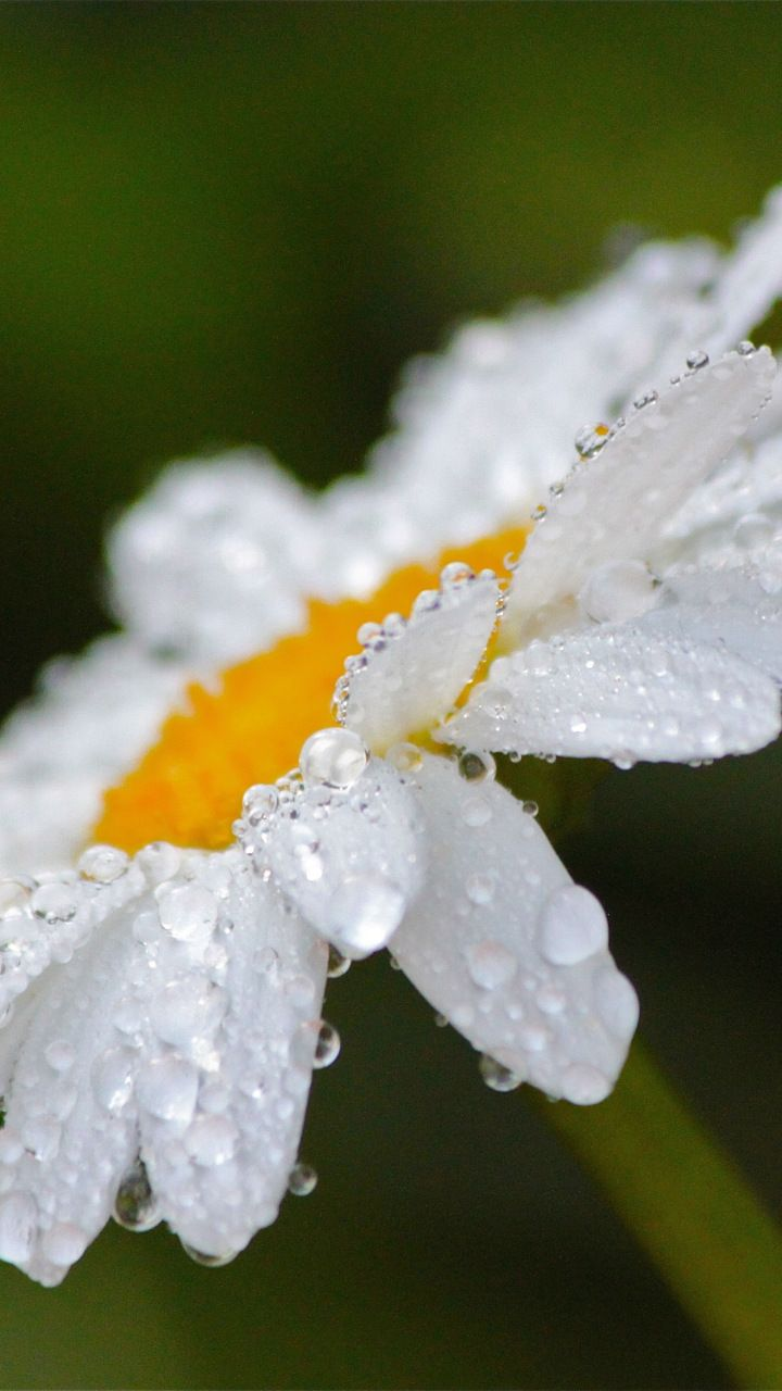 Drops Close Up Bloom White Daisy 720x1280 Wallpaper
