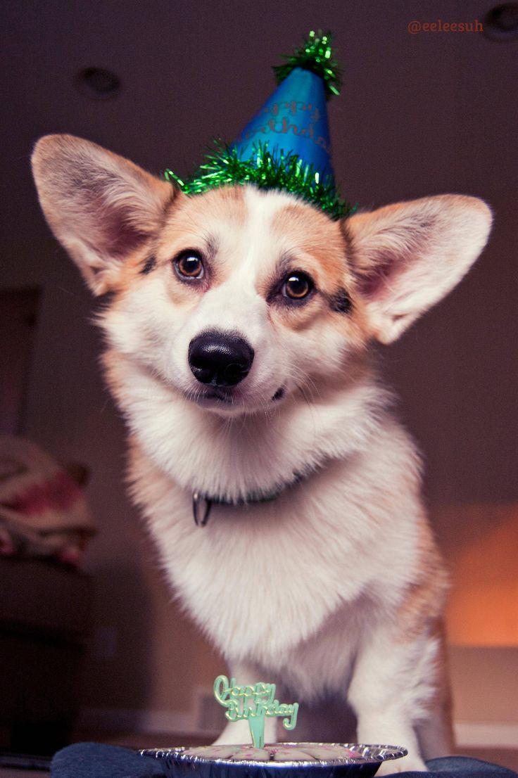 Merlin's first birthday - #corgi