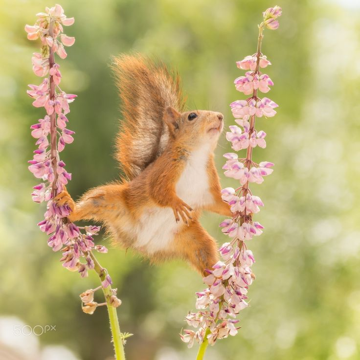 flowered up - red squirrel