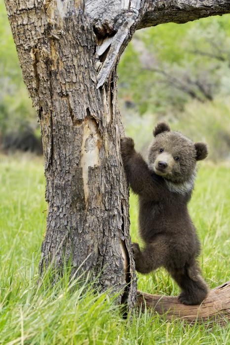 ~~ Too cute for words ~ grizzly bear cub by Melody and Michael Watson ~~