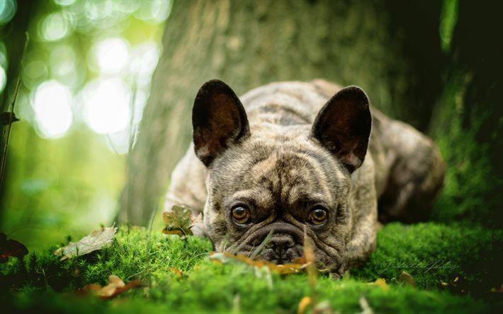 Lataa kuva koira, ranskanbulldoggi, pentu, vihreä ruoho, metsä, pienet koirat