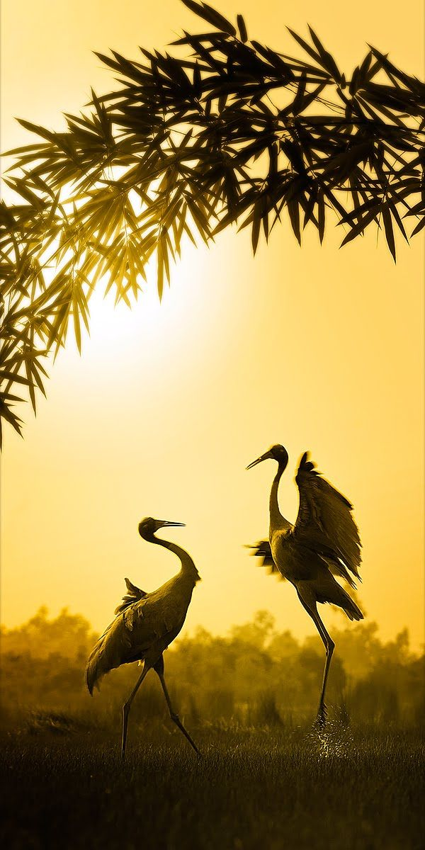 BEAUTY OF WILDLIFE: Crane Dance by malikimran