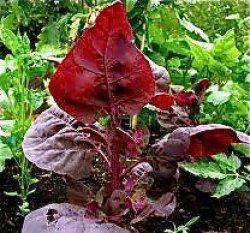 Eko Målla Röd Orach Blir 2m hög, men godast 15-20cm. Fröställning blir snittblomma. Mild smak. 25kr.