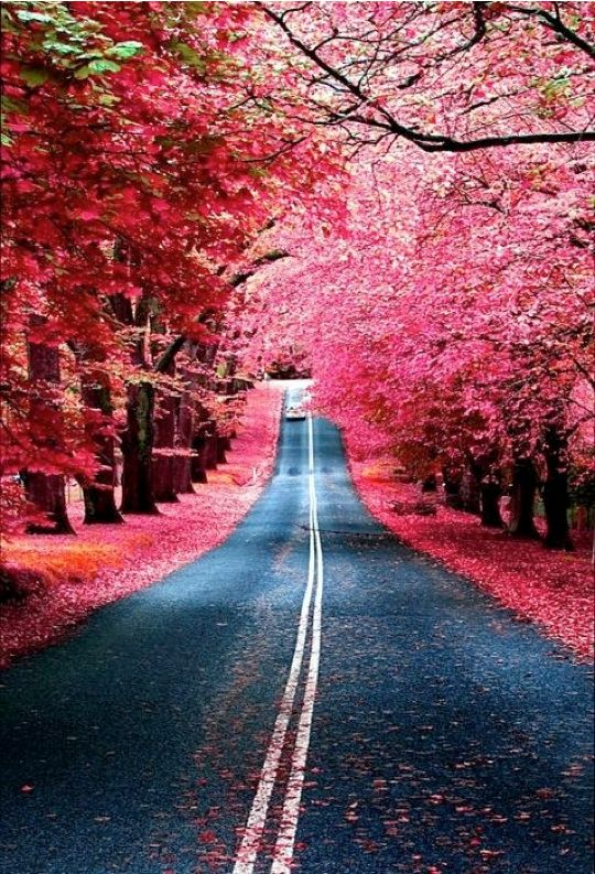 a pink tree-lined street. dreamy.