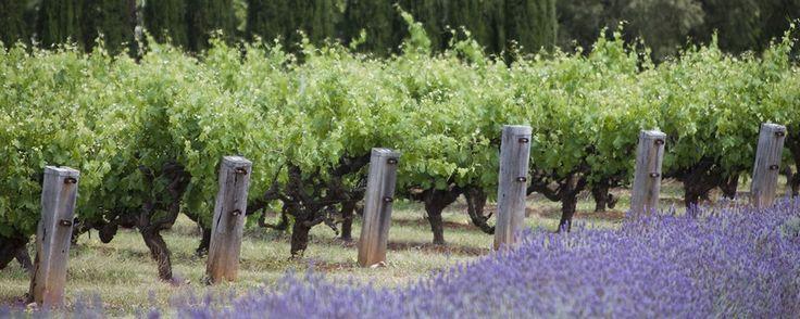 Penfolds vineyards